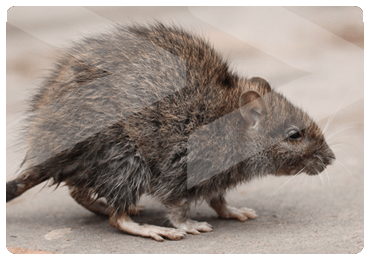 Rodent Control, Beaver Pest Control London