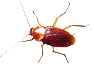 cockroach control London, Beaver Pest Control London