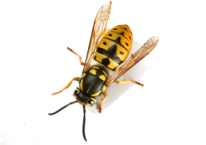 Wasp Control, Beaver Pest Control London
