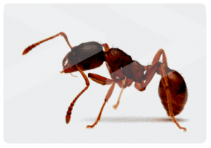 Garden Ant, Beaver Pest Control London