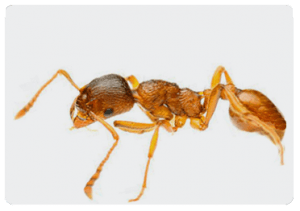 Pharaoh Ant control, Beaver Pest Control London