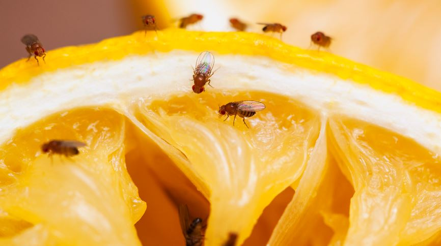Preventing Fruit flies